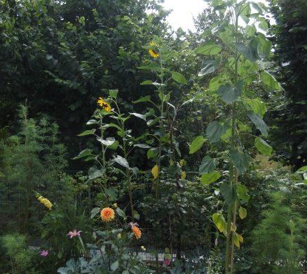 Sonnenblume 3,80m !.jpg